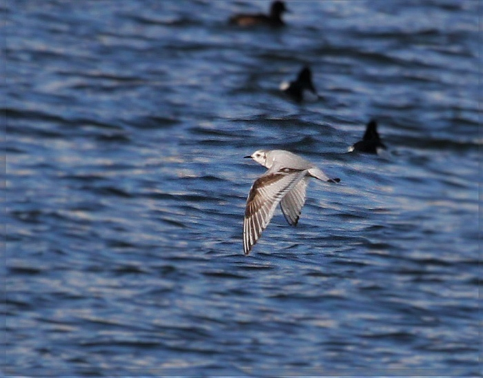 Little Gull, Pitsford Res, 16th April 2016 (Alan Coles)