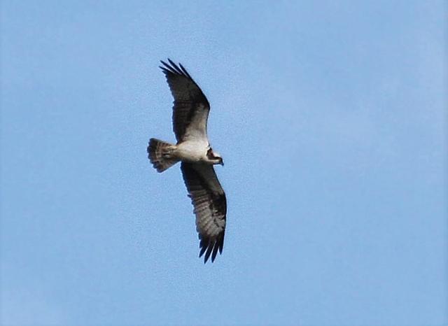 Osprey, Pitsford Res, 16th April 2016 (Alan Coles)