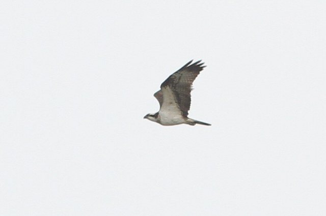Osprey, Pitsford Res, 2nd April 2016 (Bob Bullock)