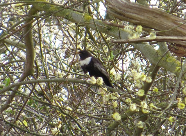 Ring Ouzel, Harrington AF, 12th April 2016 (Cathy Ryden)