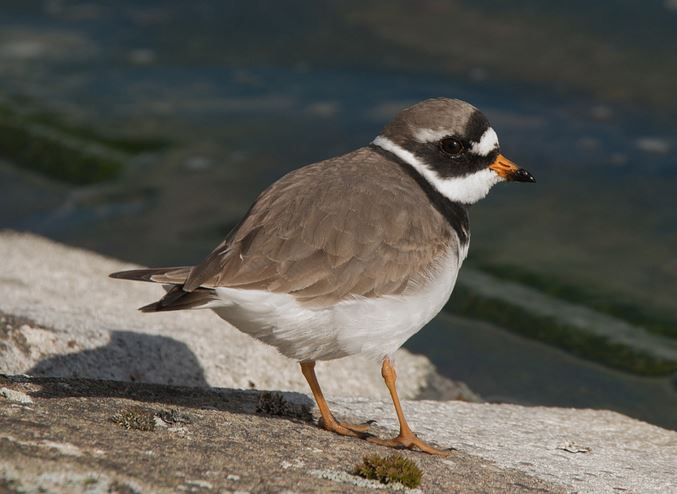 Ringed Plover, Pitsford Res, 31st March 2016 (John Nicholls)