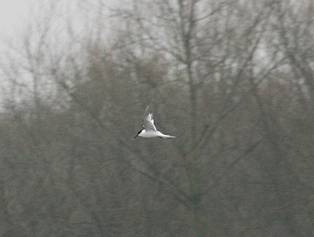 Sandwich Tern, Stanwick GP, 4th April 2016 (Steve Fisher)
