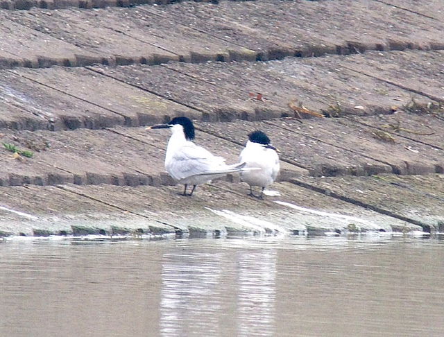 Sandwich Terns, Stanford Res, 12th April 2016 (Chris Hubbard)