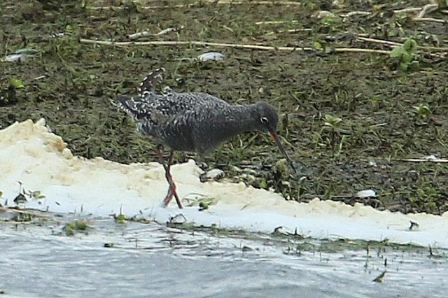 Spotted Redshank, Summer Leys LNR, 22nd April 2016 (Bob Bullock)