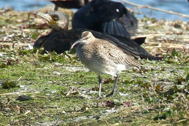 Whimbrel Summer Leys LNR, 20th April 2016 (Bob Bullock)
