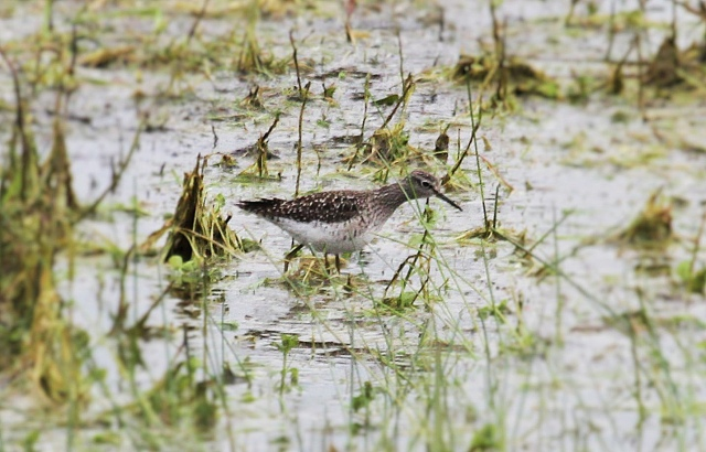 Wood Sandpiper, Summer Leys LNR, 22 April 2016 (Alan Coles)