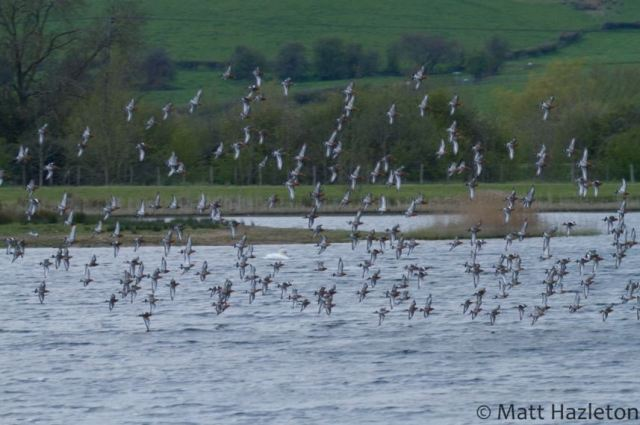 Black-tailed Godwits, Summer Leys LNR, 27th April 2016 (Matt Hazleton). Part of a gathering of some 325 individuals.