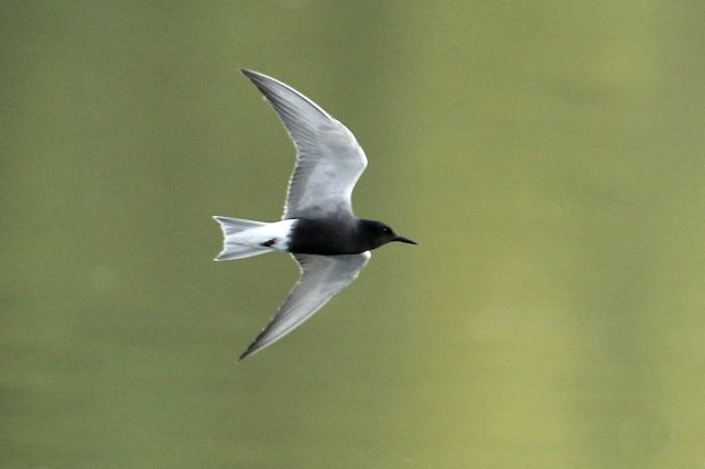 Black Tern, Stanwick GP, 6th May 2016 (Bob Bullock)