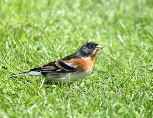 Brambling, Kettering, 26th April 2016 (Phil Jackman)