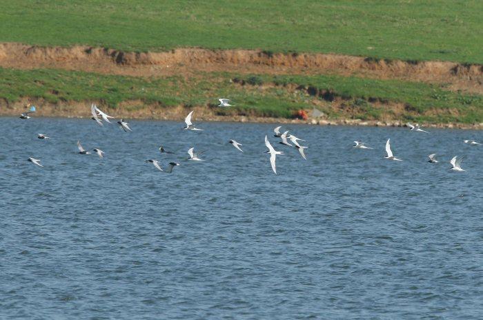 Common, Arctic and Black Terns, Clifford Hill GP, 12th May 2016 (Bob Bullock)
