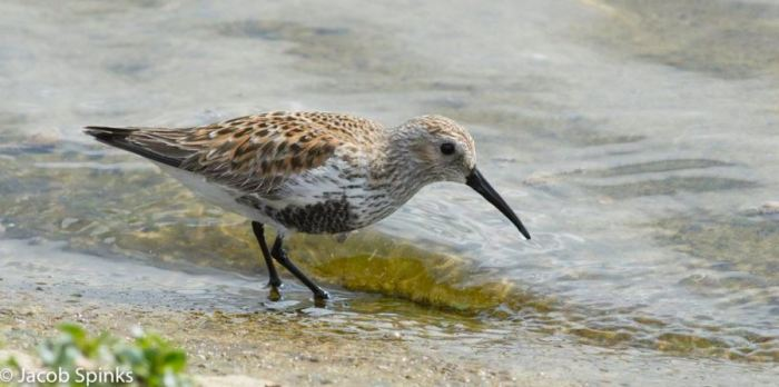 Dunlin, Pitsford Res, 30th April 2016 (Jacob Spinks)