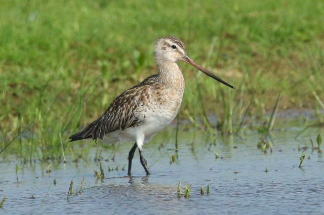 Female Bar-tailed Godwit, Clifford Hill GP, 12th May 2016 (Bob Bullock)