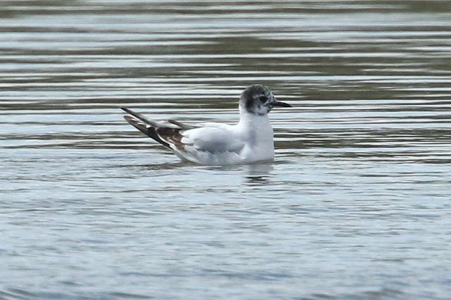 First-summer Little Gull, Stanwick GP, 30th April (Bob Bullock)