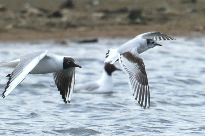 First-summer Little Gull with Black-headed Gull, Stanwick GP, 30th April (Bob Bullock)