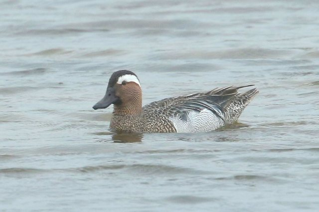Garganey, Summer Leys LNR, 10th May 2016 (Bob Bullock)