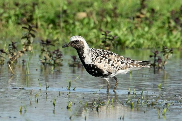 Grey Plover, Clifford Hill GP, 12th May 2016 (Bob Bullock)