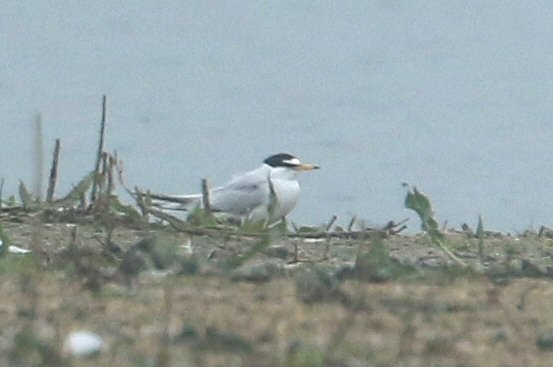 Little Tern, Summer Leys LNR, 10th May 2016 (Bob Bullock). One of two present on this date.