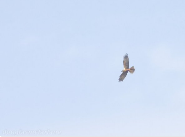 Marsh Harrier, Quarry Walk, Earls Barton GP, 1st May 2016 (Douglas McFarlane)