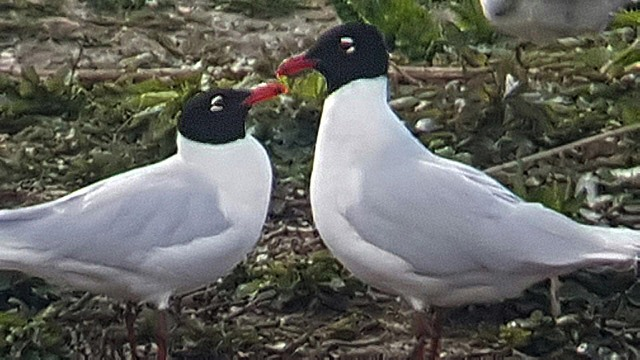 Mediterranean Gull, Stanwick GP, 29th April 2016 (Steve Fisher)