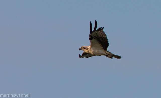 Osprey, Hollowell Res, 24th May 2016 (Martin Swannell)