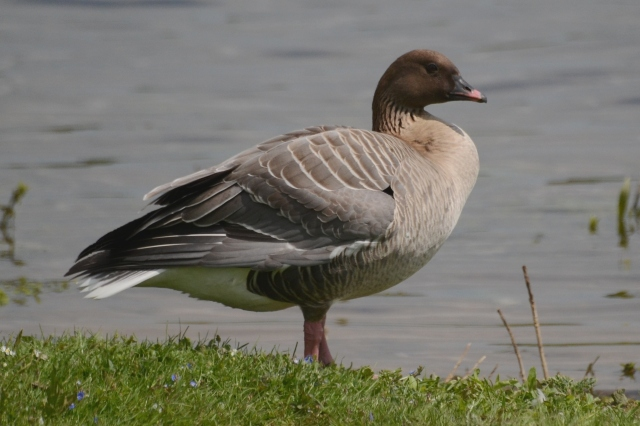 Pink-footed Goose, Pitsford Res, 14th May 2016 (Stuart Mundy)