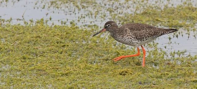Redshank, Summer Leys LNR, 11th May 2016 (Pete Garrity)