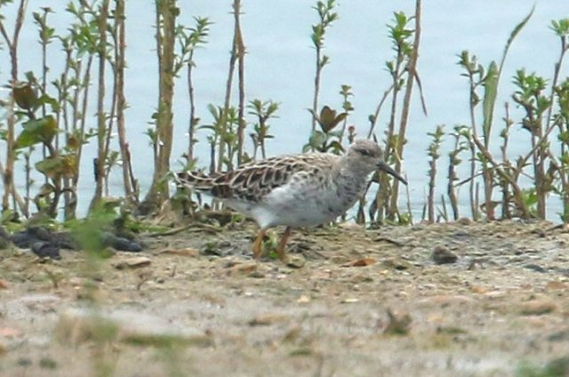 Ruff, Summer Leys LNR, 10th May 2016 (Bob Bullock)