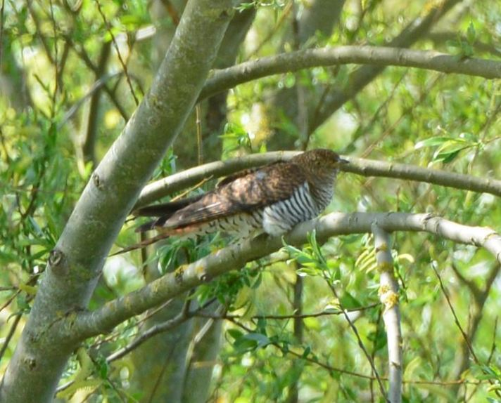 Rufous morph female Cuckoo, Summer Leys LNR, 15th May 2016 (Clive Bowley)