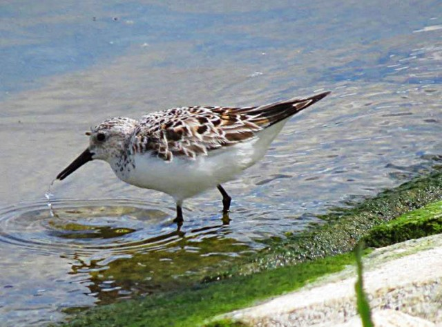Sanderling, Pitsford Res, 22nd May 2016 (Adrian Borley)