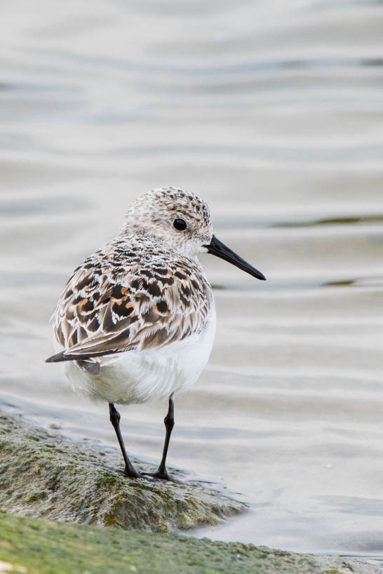 Sanderling, Pitsford Res, 22nd May 2016 (Angus Molyneux)
