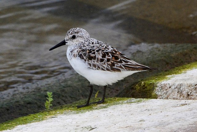 Sanderling, Pitsford Res, 22nd May 2016 (Stuart Mundy)