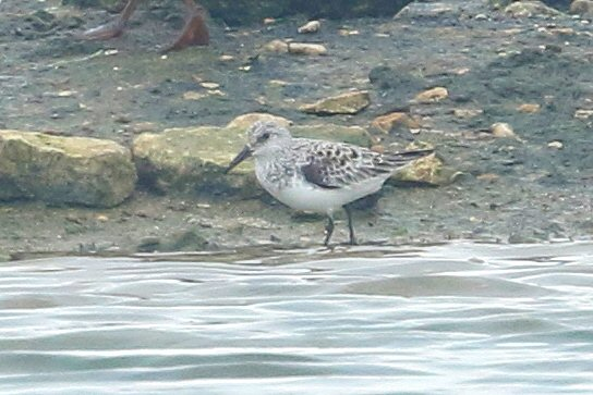Sanderling, Stanwick GP, 12th May 2016 (Bob Bullock)
