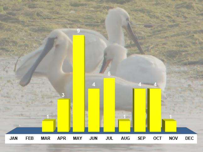 Northamptonshire Spoonbills. Monthly distribution, all records. Background image: Mike Alibone.