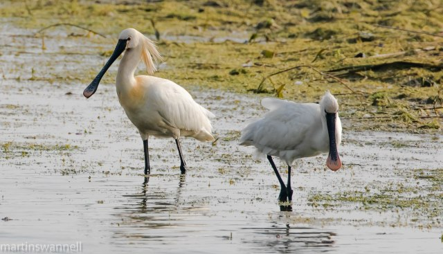 Spoonbills, Summer Leys LNR, 7th May 2016 (Martin Swannell)
