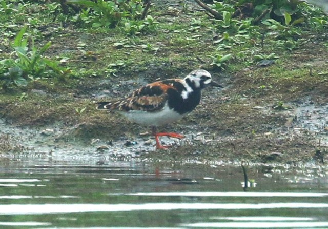 Turnstone, Stanwick GP, 12th May 2016 (Bob Bullock)