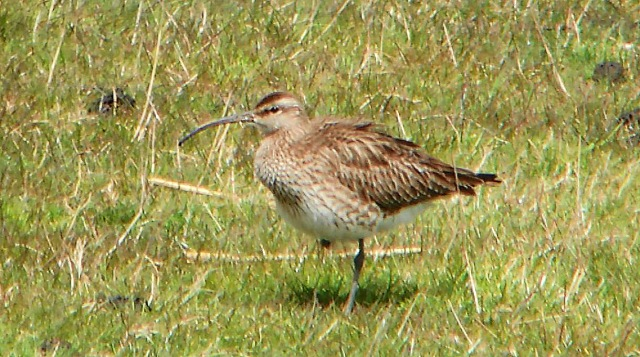 Whimbrel, Clifford Hill GP, 28th April 2016 (Mike Alibone)