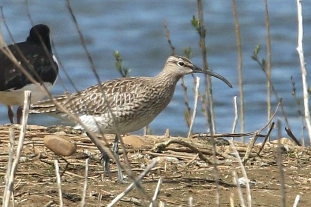 Whimbrel, Earls Barton GP, 23rd April 2016 (Bob Bullock)