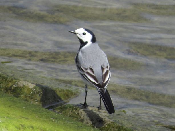 White Wagtail, Pitsford Res, 3rd May 2016 (Alan Francis)