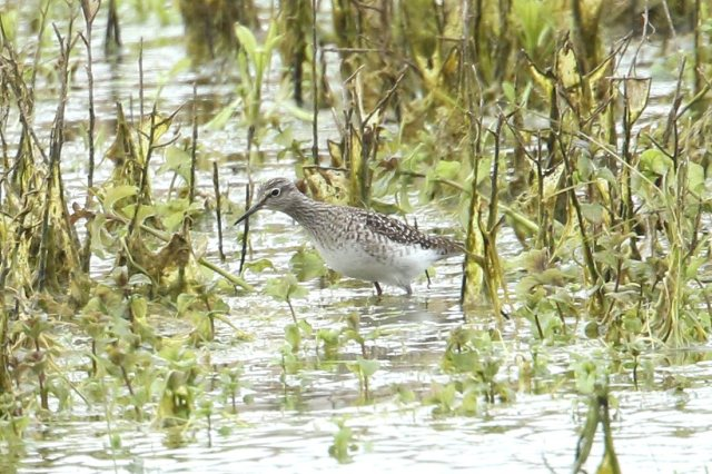 Wood Sandpiper, Summer Leys LNR, 24th April 2016 (Bob Bullock)