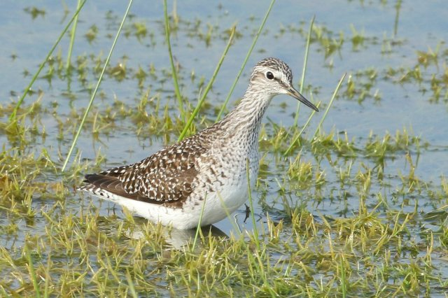 Wood Sandpiper, Summer Leys LNR, 7th May 2016 (Bob Bullock)
