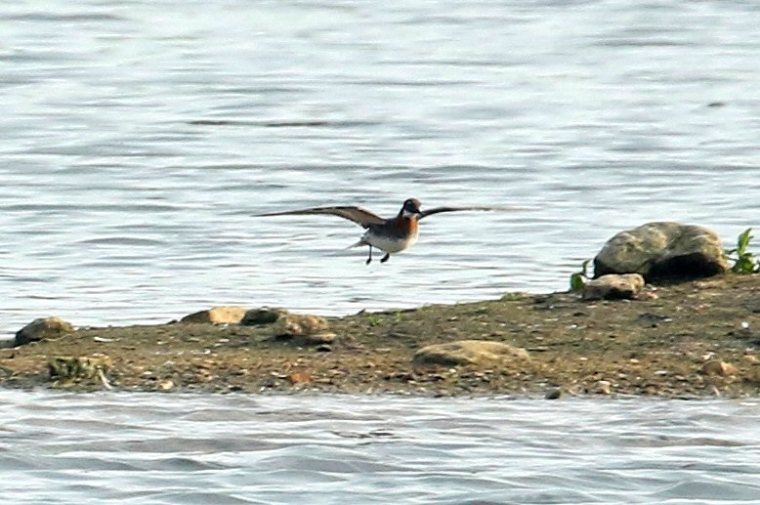 Female Red-necked Phalarope, Stanwick GP, 4th June 2016 (Bob Bullock)