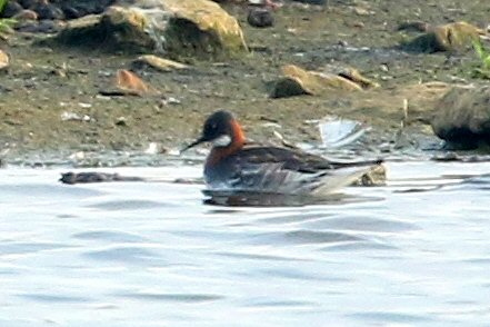 Red-necked Phalarope, Stanwick GP, 4th June 2016 (Bob Bullock)