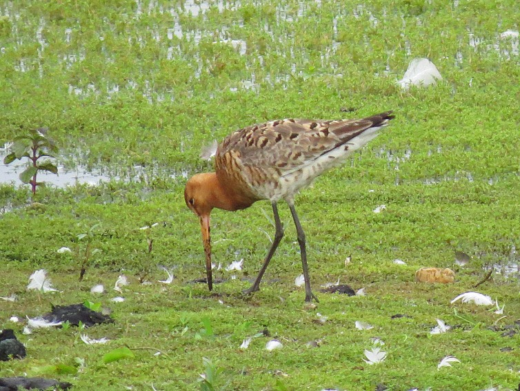 Female Icelandic Black-tailed Godwit, Summer Leys LNR, 24th June 2016 (Adrian Borley)