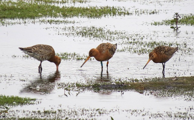 Female and two male Icelandic Black-tailed Godwits, Summer Leys LNR, 24th June 2016 (Adrian Borley)
