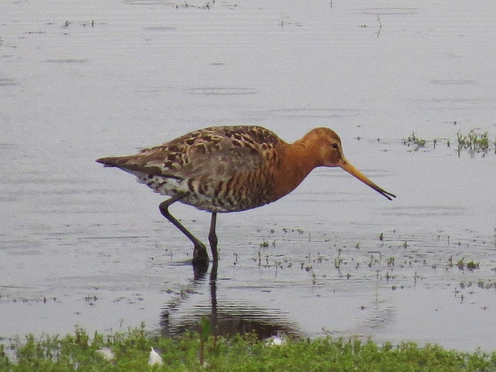 Male Icelandic Black-tailed Godwit, Summer Leys LNR, 24th June 2016 (Adrian Borley)
