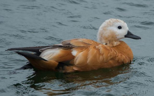 Ruddy Shelduck, Pitsford Res, 22nd June 2016 (John Nicholls)