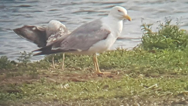Yellow-legged Gull, Stanwick GP, 24th June 2016 (Steve Fisher)