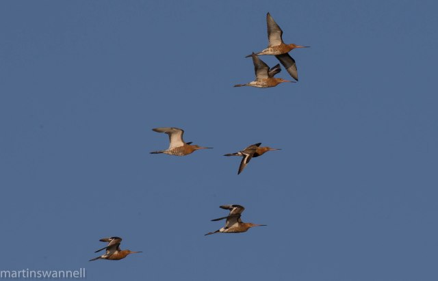 Black-tailed Godwits, Summer Leys LNR, 20th July 2016 (Martin Swannell)