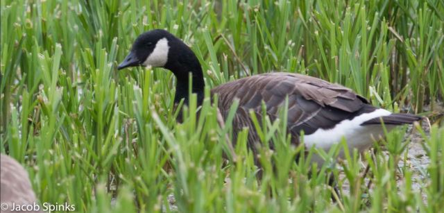 Cackling Goose, probably Taverner's, Pitsford Res, 30th June 2016 (Jacob Spinks)