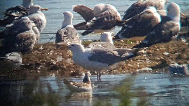 Caspian Gull, Stanwick GP, 19th July 2016 (Steve Fisher)